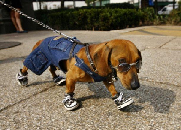 Petit chien avec lunettes de soleil et baskets il a trop la classe habillé comme un humain